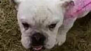 Indiana Bulldog Rescue Presents... Tillie Mae