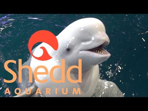 Shedd Aquarium (in Chicago) Tour & Review with The Legend