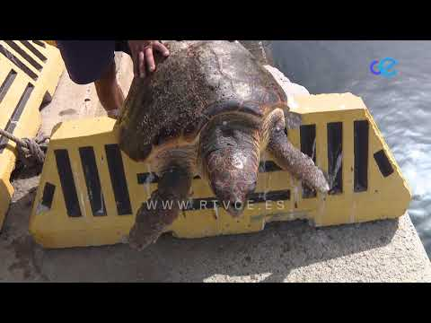 Trabajadores del CECAM rescatan una tortuga que había ingerido plásticos