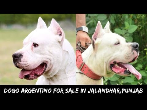 Dogo Argentino Puppies For Sale Sunil Jassal Dogo Argentino