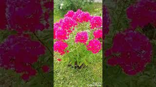 ЦВЕТЕНИЕ ФЛОКСОВ в моём саду продолжается! Делюсь красотой с Вами для хорошего настроения!)