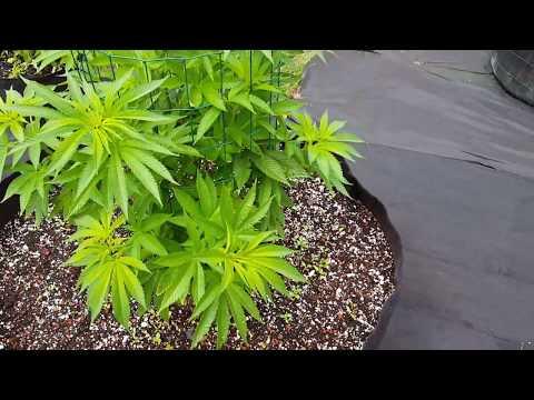 S:2 Ep:11 Organic Outdoor Cannabis Grow 2017
