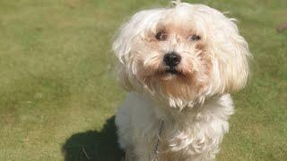 İstanbul Köpek Eğitimi Okulu   Maltese Terrier Eğitimi !
