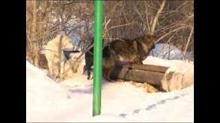 Бродячие собаки напали на жителя Тюмени