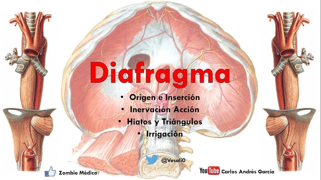 Anatomía - Diafragma (Origen, Inserciones Acción, Irrigación, Hiatos ...