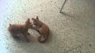 Maltese Kittens Fight