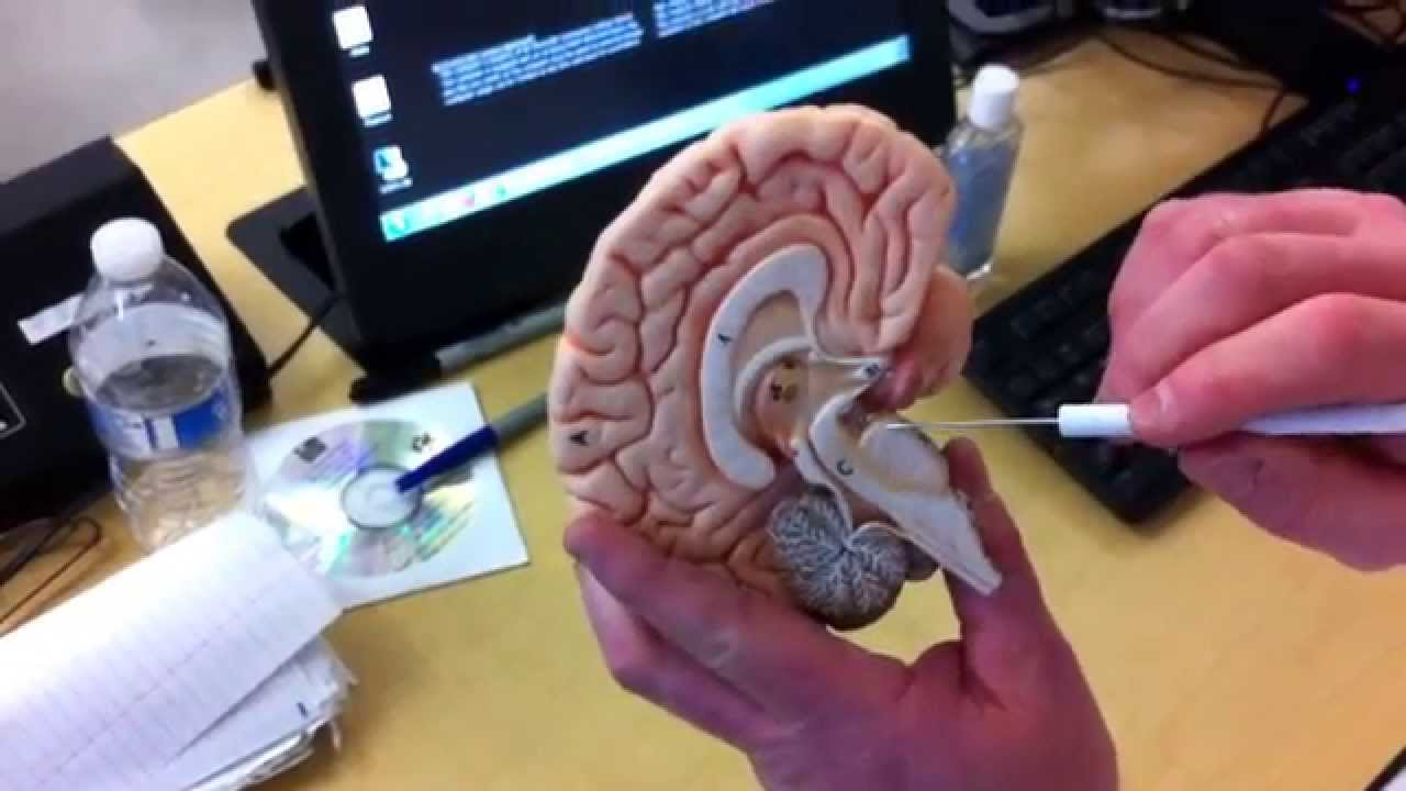 Cranial Nerves on the Small Brain Model - YouTube