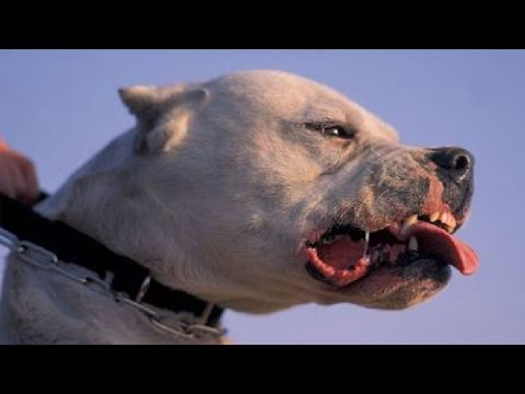 BEAST Dogo Argentino Bodybuilder - GIANT MUSCLES