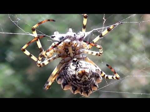 Argiope Lobata Spider Attack ( Slow Motion Included )