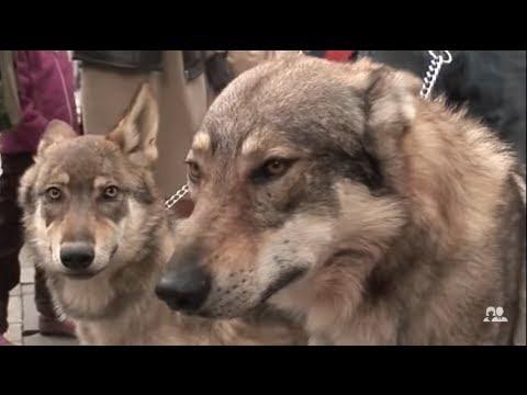 Je vis à Paris avec trois loups