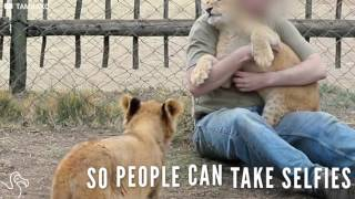 Park Breaks Promise To Stop Tourists From Taking Selfies With Baby Lions