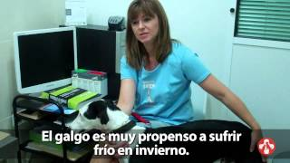Greyhounds in Spain | SPCA International | Global Animal Rescue  (w/ spanish subtitles)