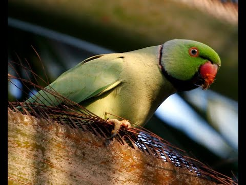 How A Hawaiian Island Is Fighting Invasive Parakeets