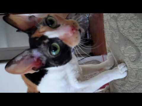 My Cornish Rex Cats and Oriental Shorthair Cat, Gracie, Maddi, Amber, and Ninja