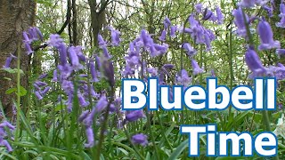 Bluebell Time ~  Woodland  England April 2020 Nature at its best.
