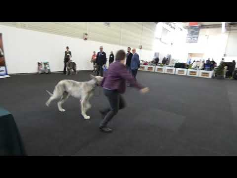 20190120 Best Of Breed Dog Show Münster irish Wolfhound