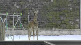 円山動物園のマサイキリン、ユウマ(オス/13歳)、ナナコ(メス/7歳)とナナ...
