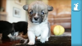 Miniature Corgi Puppies Are Unspeakably Adorable