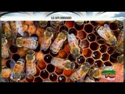 Medicina Amica: le api curano - 31.05.2016