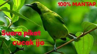 Gambar cover Suara pikat mp3 burung cucak ijo di jamin 100% mendekat mantap...