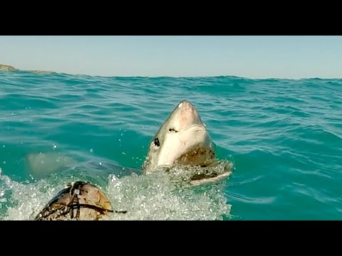 Great White Sharks Attacking a Tuna in Shark Alley in South Africa