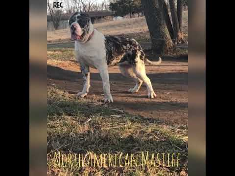 North American Mastiff