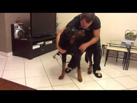 Mettre un harnais à son chien - Utiliser un harnais - Harnais grands chiens