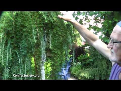 Japanese Larch - Larix Kaempferi 'Pendula'    American Conifer Society