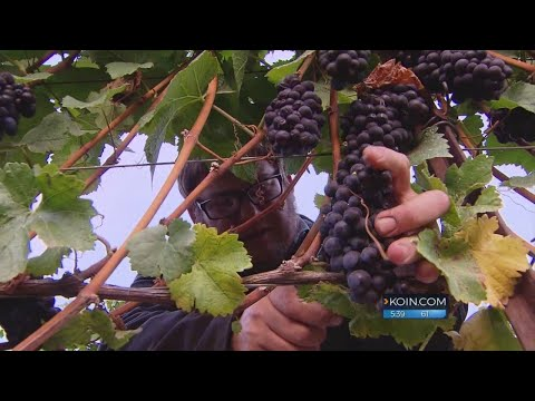 Kohr Oregon Wine Grape Harvest