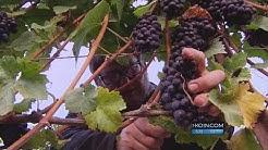 Kohr Oregon Wine Grape Harvest