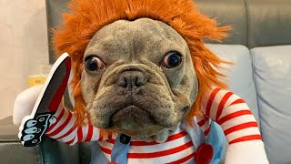 Adorable Dog Dresses as 'Chucky' Doll for Halloween