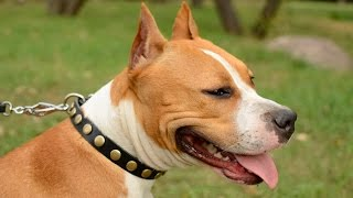 Staffordshire Terrier And Other Dogs Wearing Elegant Leather Dog Collar
