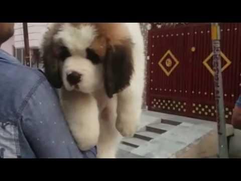 Saint bernard 2 month puppy