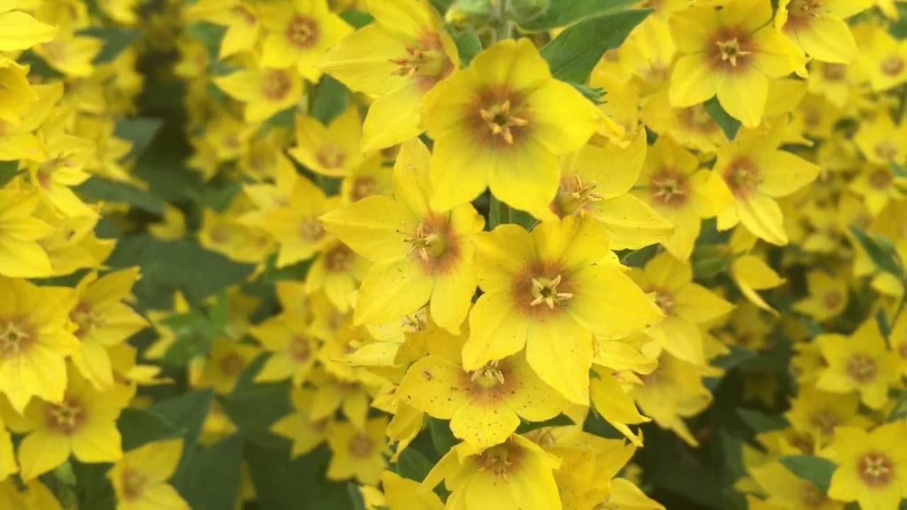 Yellow loosestrife flowers lysimachia vulgaris loosestrife yellow loosestrife flowers lysimachia vulgaris loosestrife lysimachia vulgaris gardening mightylinksfo