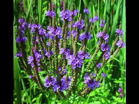 Vervain Herb Health Benefits