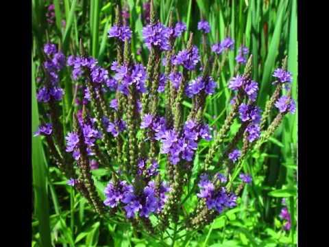 Vervain Herb Health Benefits