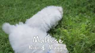 Puppies For Sale - Kiki/maggie - Maltese