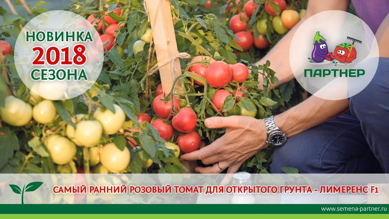 Выращивание томатов сорта Батяня на своем участке (фото и видео советы)