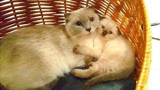 Сразу у ДВУХ кошек родились маленькие КОТЯТА! Шотландские вислоухие кошки /  Дети играют с котятами