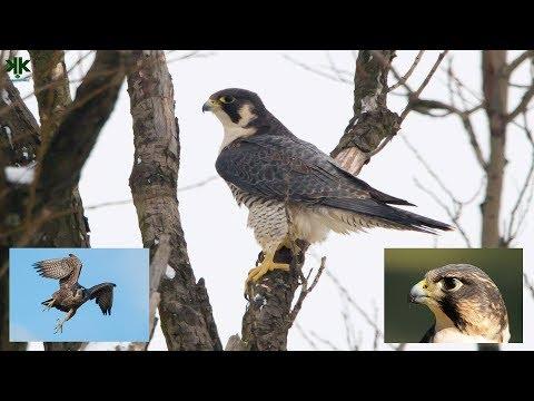 Hız Rekortmeni Dünyanın En Hızlı Kuşu Gökdoğan