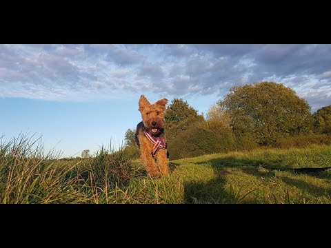 Ruby - Welsh Terrier - 2 Weeks Residential Dog Training