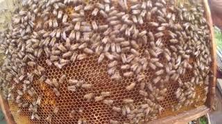 Второе расширение пчелопакетов, даем вощину, сушь, результаты предыдущего расширения сушью.