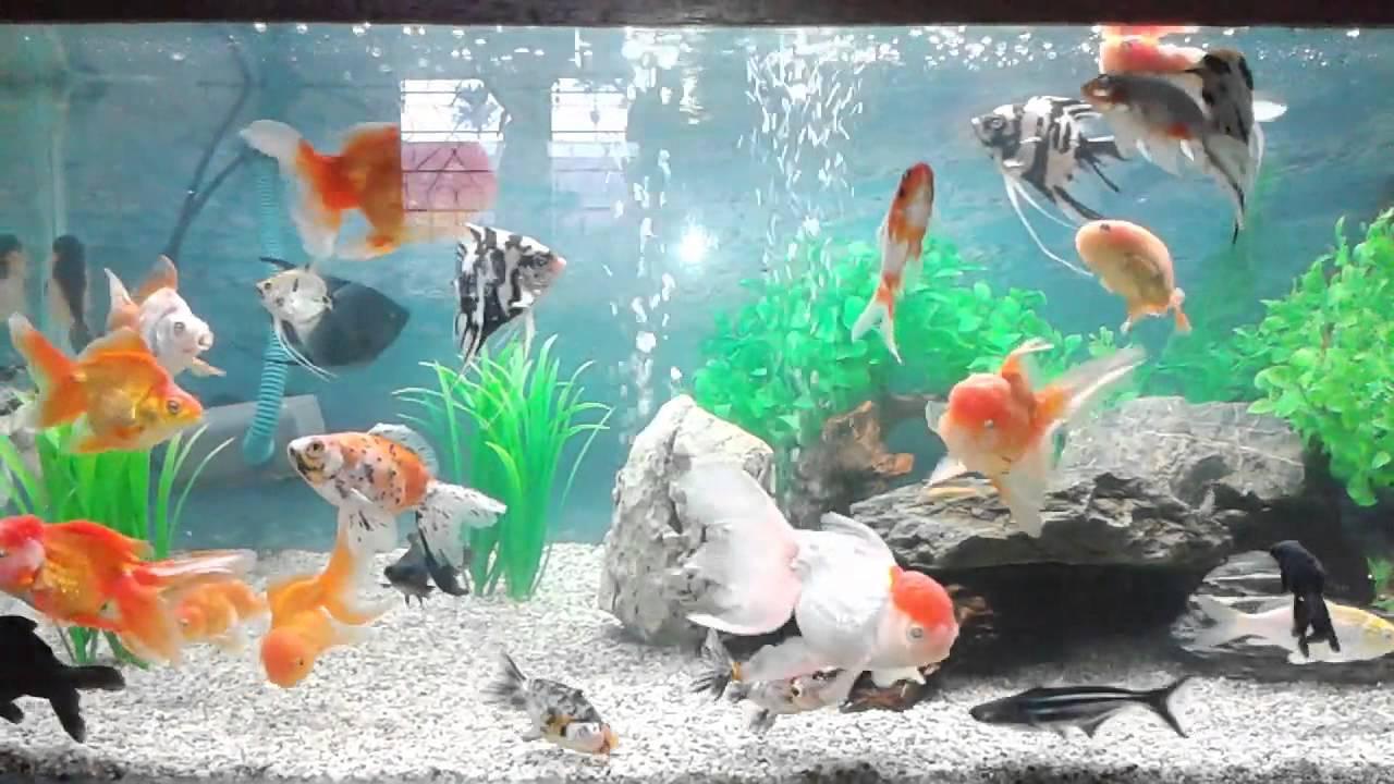 Aquarium Ikan Koki 2 - YouTube