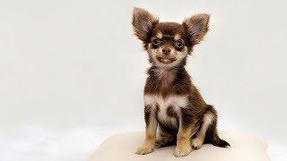 Los perros mas pequeños del mundo thumbnail