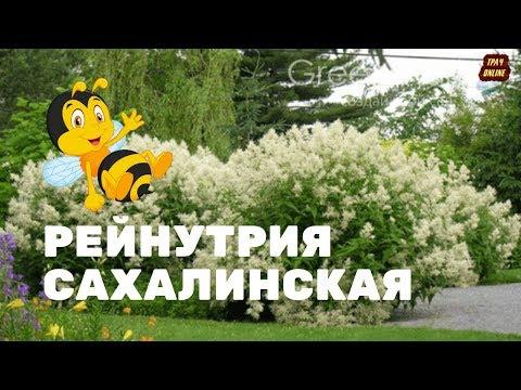 🌻 Горец сахалинский  (Рейнутрия) 🌿 для  Владимира