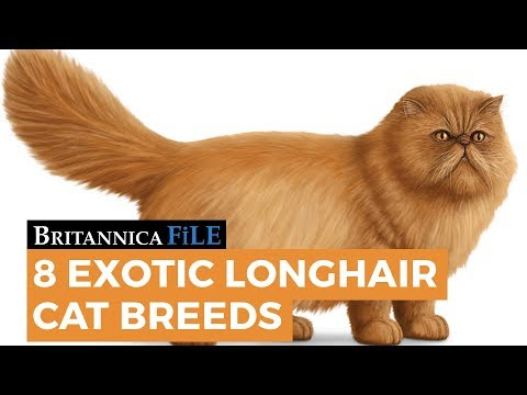 8 Exotic Longhair Cat Breeds