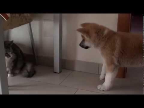 Akita cucciolo e gatto adulto