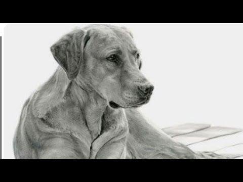 Download How To Draw A Labrador Retriever Dog Head Detail