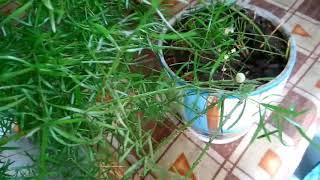 Аспарагус  выращивание и цвет 