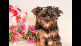 Купить щенка йоркширского терьера в Москве / Питомник йорков / Щенок йорка